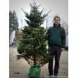 picea-koreana-met-wortel-2-meter-in-pot