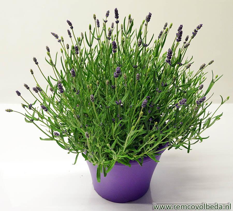 Lavendel In Grote Pot.Remco Volbeda Bloemen Lavendel In Paarse Pot